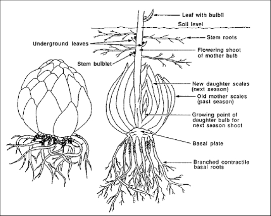 flower bulbs - cargo handbook